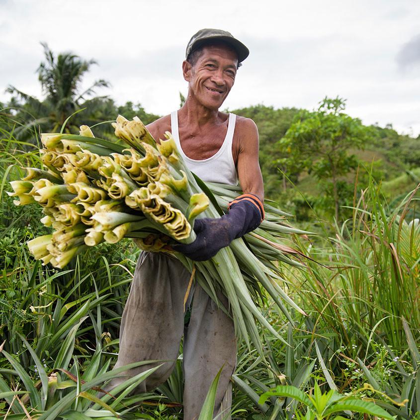 Foto oogst van ananasbladeren